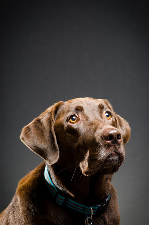 catchlight: Chocolate lab pet Stock Photo