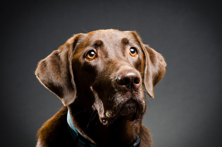 catchlight: Studio portrait of a chocolate lab Stock Photo