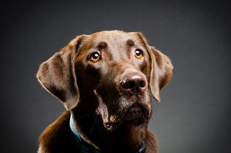 adopt: Studio portrait of a chocolate lab Stock Photo