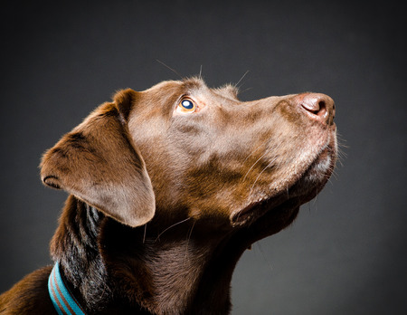 catchlight: Chocolate lab