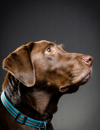 catchlight: Profile of a chocolate lab