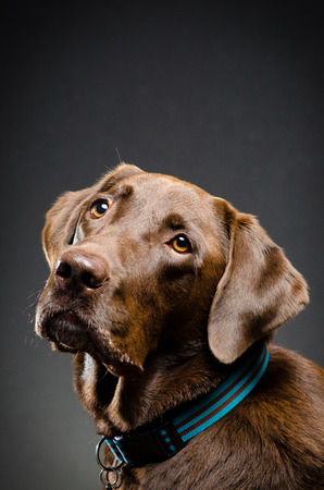 catchlight: Portrait of a chocolate lab