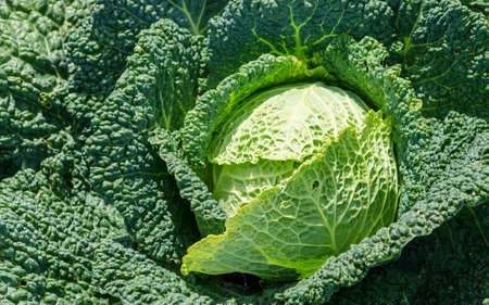 cabbage patch: Cabbage Stock Photo