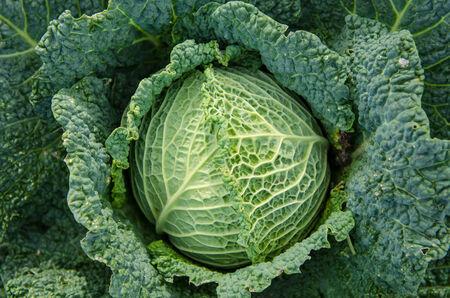 freshly picked: Fresh Cabbage