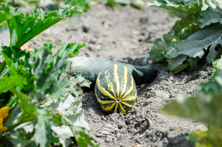 freshly picked: Fresh zucchini