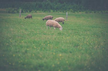 tree farming: Vintage grazing sheep