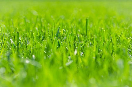 cut grass: Green grass