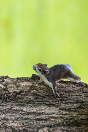 Red squirrel in Thailand playing around and looking for food on the tree living in a nature