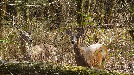 couple of deers Stock Photo