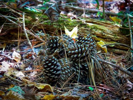pine cones closeup photo