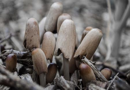 fungi woodland: ink cap mushroom (Coprinopsis atramentaria)