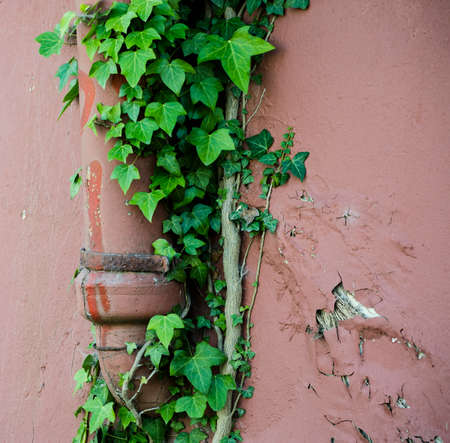 outflow: ivy growing on a cottage drainpipe
