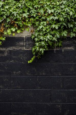 mur noir: lierre sur le mur noir Banque d'images