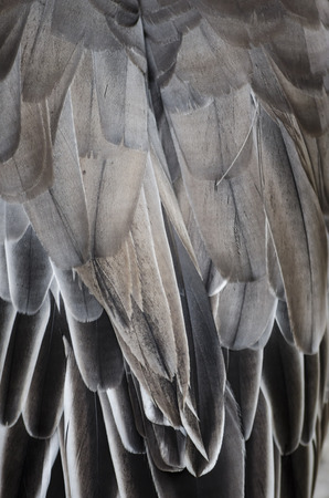 feather background: Bird wing detail texture Stock Photo