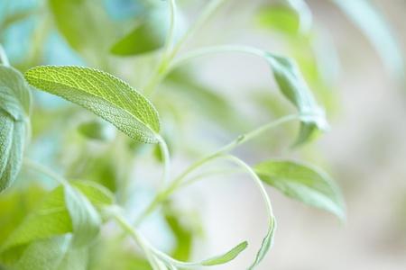 regionally: Fresh sage in the herb garden Stock Photo