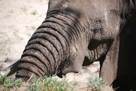 ELEPHANT IN TARANGIRE PARK NOSE SHOT Banco de Imagens