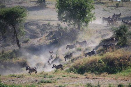 Zebras running to water Tarangire Park, Tanzania