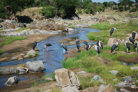 safe water: African Storks at water hole