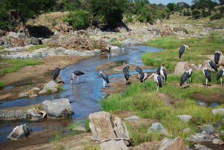 Afrikaanse Ooievaars op water gat