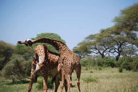 Two male Giraffes fighting