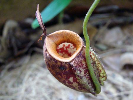 predatory: Tropical carnivorous flowers. Predatory florets growing to Borneo.