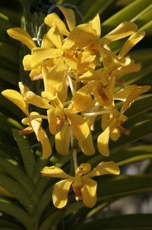 Tropical flowers. Orchids of Borneo. Growing in the nature. photo