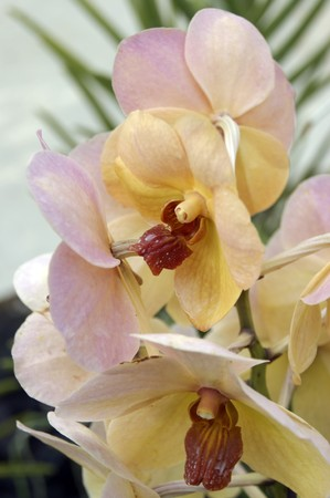 Orchids of high-mountainous Borneo. Exotic natural flowers of Borneo. Colours of a life to Borneo. photo