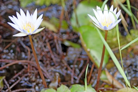 Lotuses in high in mountains Borneos.  Exotic natural flowers of Borneo. Colours of a life to Borneo.  photo