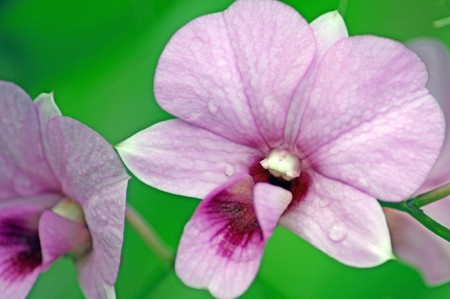 Orchids of high-mountainous rainforests of Borneo photo