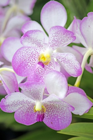 Orchids of high-mountainous rainforests of Borneo Stock Photo - 7340930
