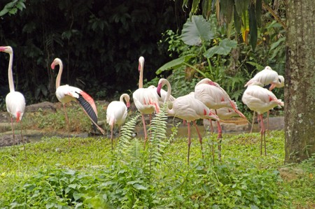 The flight of pink Flamingos has a rest from flight on small lake at coast Borneo. photo