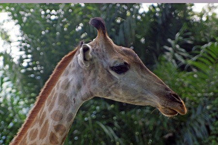 Giraffes, small herd in a zoo of Singapore. photo