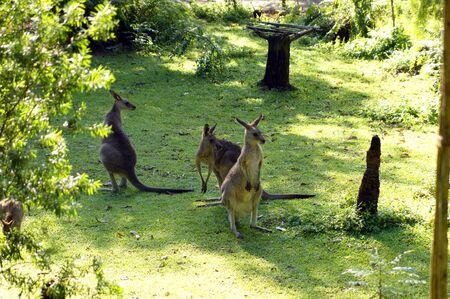 Kangaroo living in a zoo of Singapore. photo