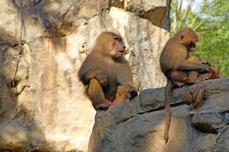 Monkeys living in the Singapore zoo. Stock Photo - 7341697