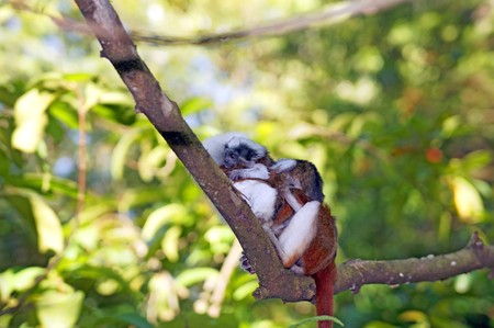 Monkeys living in the Singapore zoo. photo