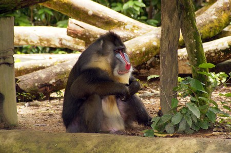 Monkeys living in the Singapore zoo. Stock Photo - 7341788