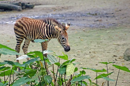 Zebra on the nature living in the Singapore zoo photo