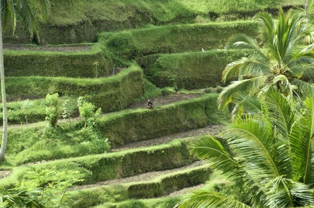 Terraces of rice fields extended to Bali.  photo