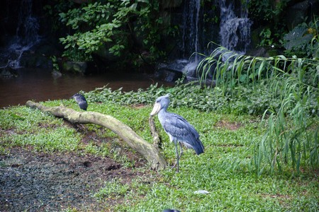 The big birds living in natural conditions under state protection. Borneo. photo