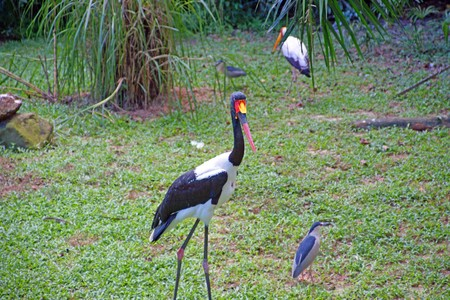 The big birds living in natural conditions under state protection. Cranes. Borneo. photo