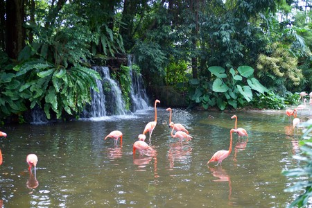 kindred: Flight of fine pink flamingos on lake in rainforest. Park of birds. Singapore.