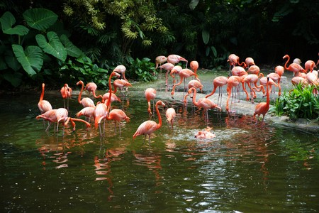 Flight of fine pink flamingos on lake in rainforest. Park of birds. Singapore. photo