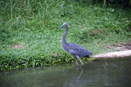 Herons on a lawn in equatorial jungle. The birds park. Singapore. photo