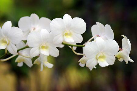 orchidee: Orchidee spontanee di alto montagnoso Borneo. Il paradiso è caduto addormentati farfalle.