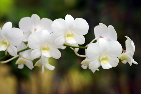 Wild orchids of high-mountainous Borneo. The paradise fallen asleep butterflies. Stock Photo