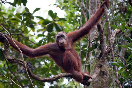 biped: Orangutans living in tropical rainforest of Borneo.