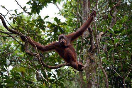 Orangutans living in tropical rainforest of Borneo.