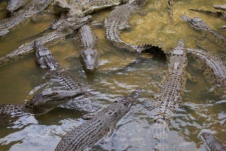 Crocodile living in natural conditions in the rivers Borneos. Stock Photo
