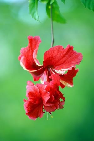 Wild hibiskus of high-mountainous Borneo. The paradise fallen asleep butterflies.