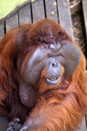 Orangutan living in natural conditions in the rainforest Borneos.